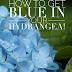 Hydrangeas~ #PBColorOurWorld Blue