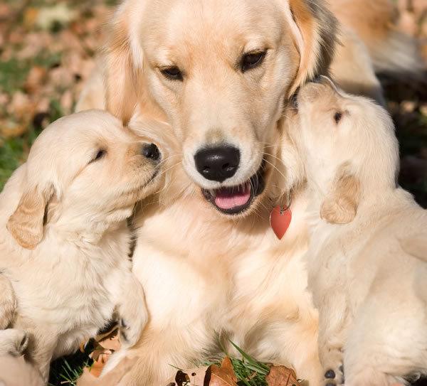 Golden Retriever Puppies Photos | Puppies Pictures Online