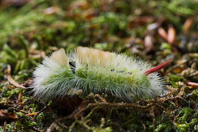 Buchen-Streckfuß (Calliteara pudibunda)