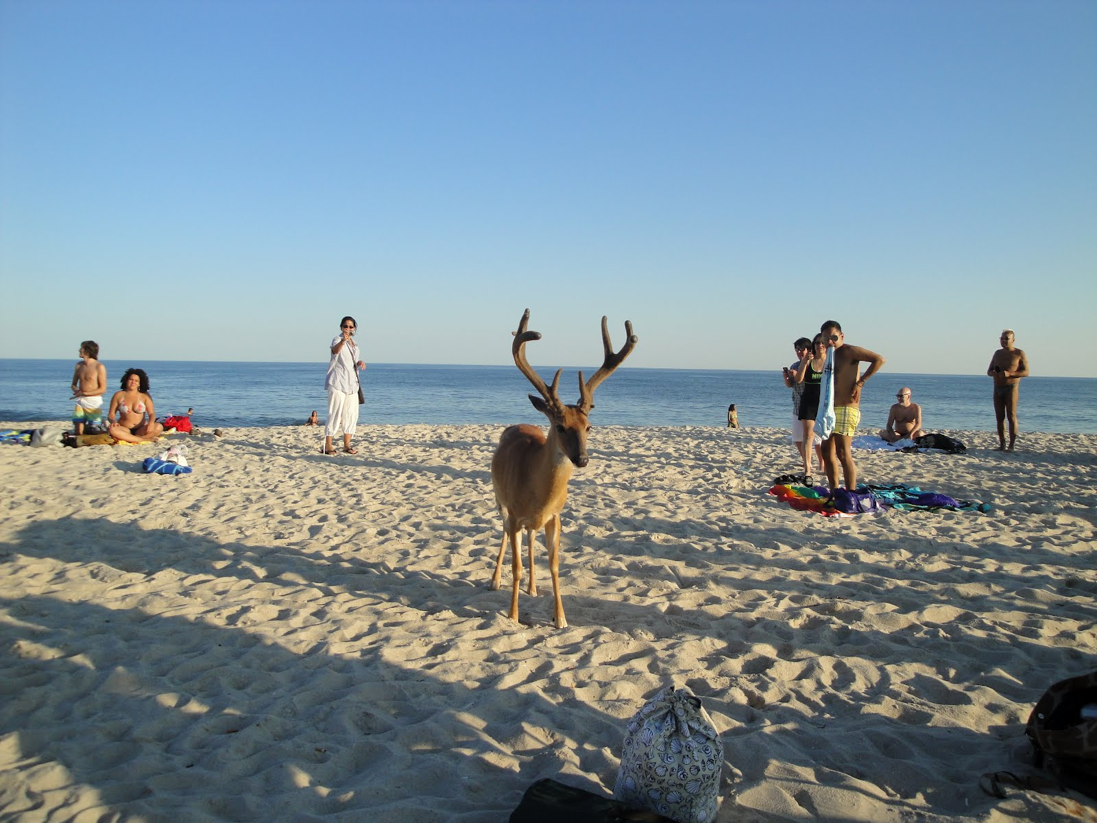 Fire Island New York Deer Nykeiko
