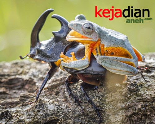 Gambar Lucu Katak Menunggangi Kumbang Si Kodok Koboi