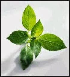 Bagi para pencinta lalapan atau yang doyan makan pecel lele, pasti herbal kemangi tidak asing bagi Anda. Kemangi banyak digunakan sebagai lalapan, aromanya yang wangi dan menyegarkan dapat menambah selera makan Anda. Selain itu ternyata kemangi juga punya banyak manfaat bagi kesehatan tubuh.