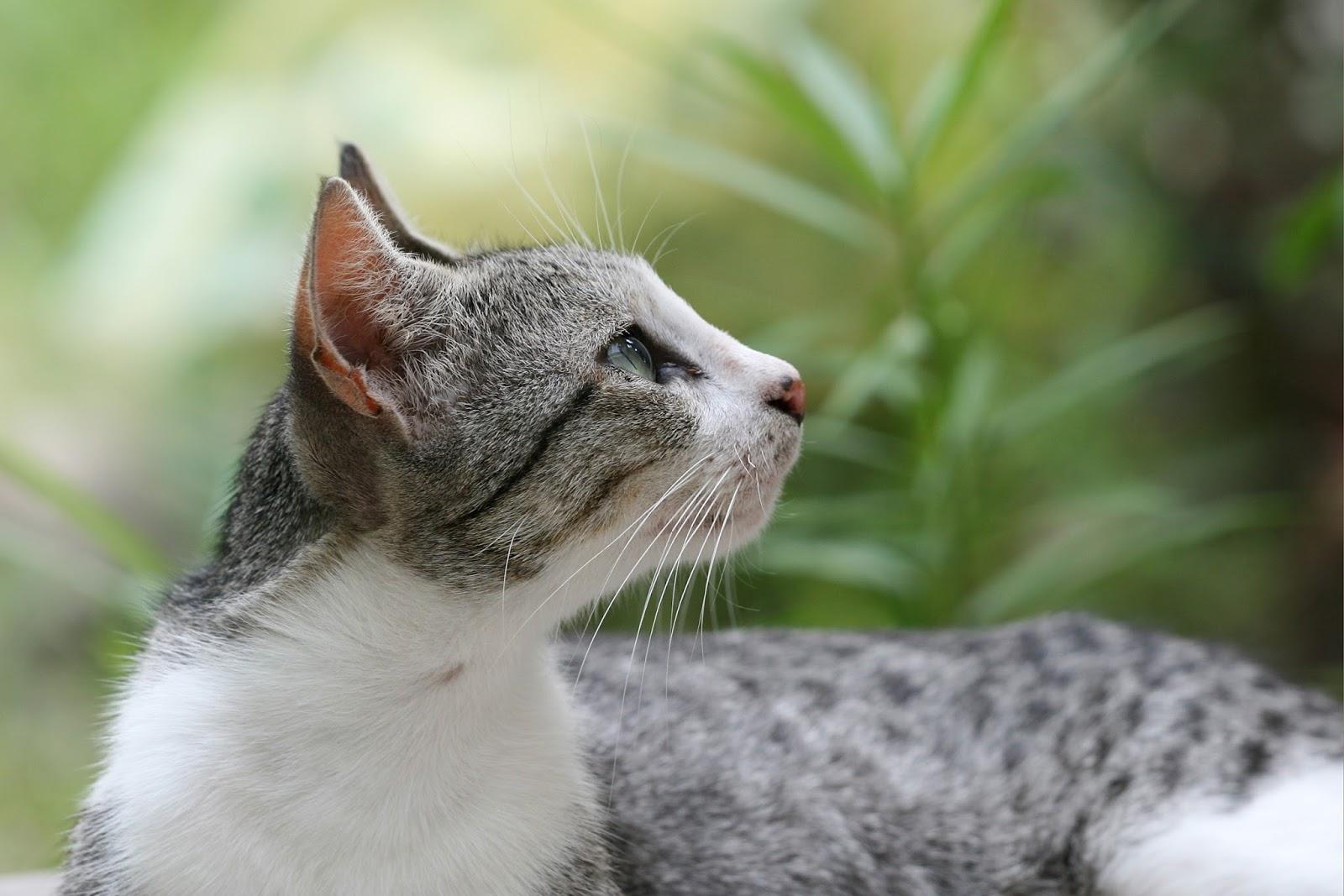 Kelebihan Serta Keuntungan Memelihara Kucing Kampung Atau