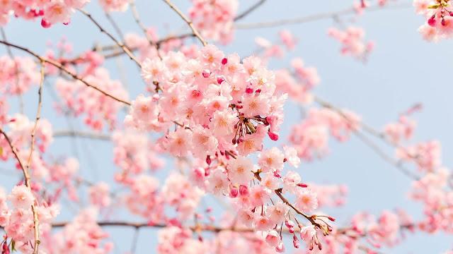 Bên cạnh Nhật Bản vẫn còn nhiều thành phố khác cũng sở hữu hàng cây hoa anh đào tuyệt đẹp dành cho những ai yêu quý loài hoa của mùa xuân này.
