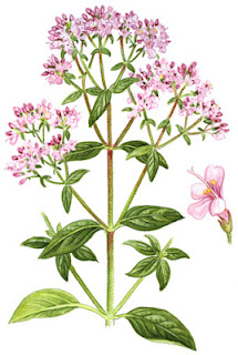 Medicinal Herb: Oregano. Primarily for -- antiseptic, stomach and respiratory ailments, anti-fungal, antibacterial, cancer. 31Daily.com