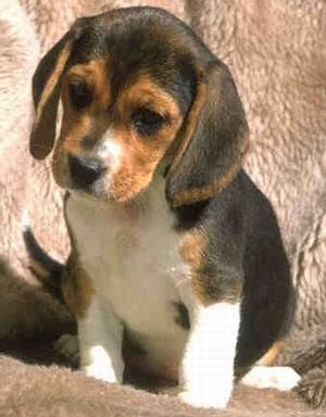 beagle puppy dog can perro ShurKonrad Blog compañero cachorro