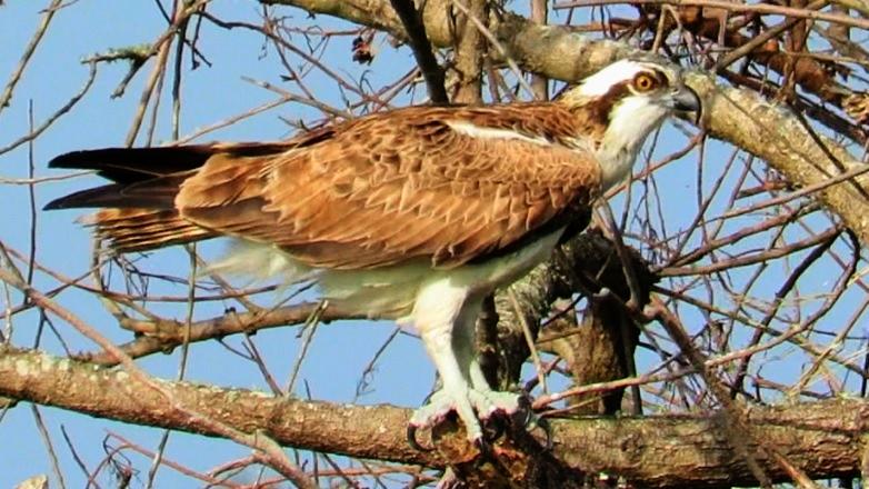 Osprey Watching