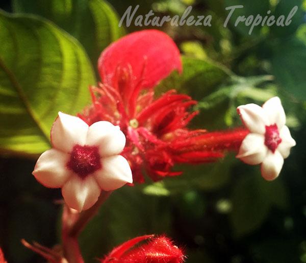 Flores y brácteas de Mussaenda erythrophylla