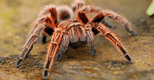 Dünyanın En Tehlikeli  ve Büyük 10 Zehirli Örümceği