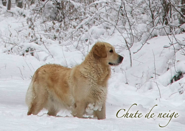 Golden Retriever des neiges