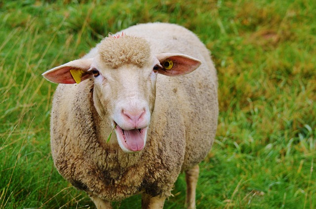 pixabay.com, sheep, wool