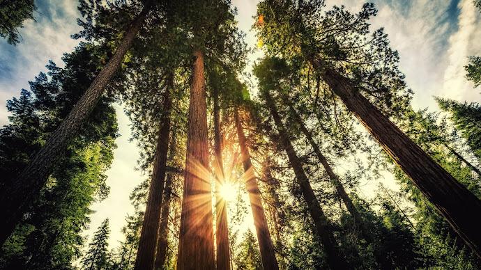 Wallpaper: Giant Sequoias