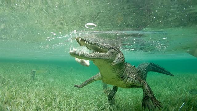 Crocodile balancing in water