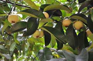 Manis Manggis Tasik dan Sejuta Manfaatnya