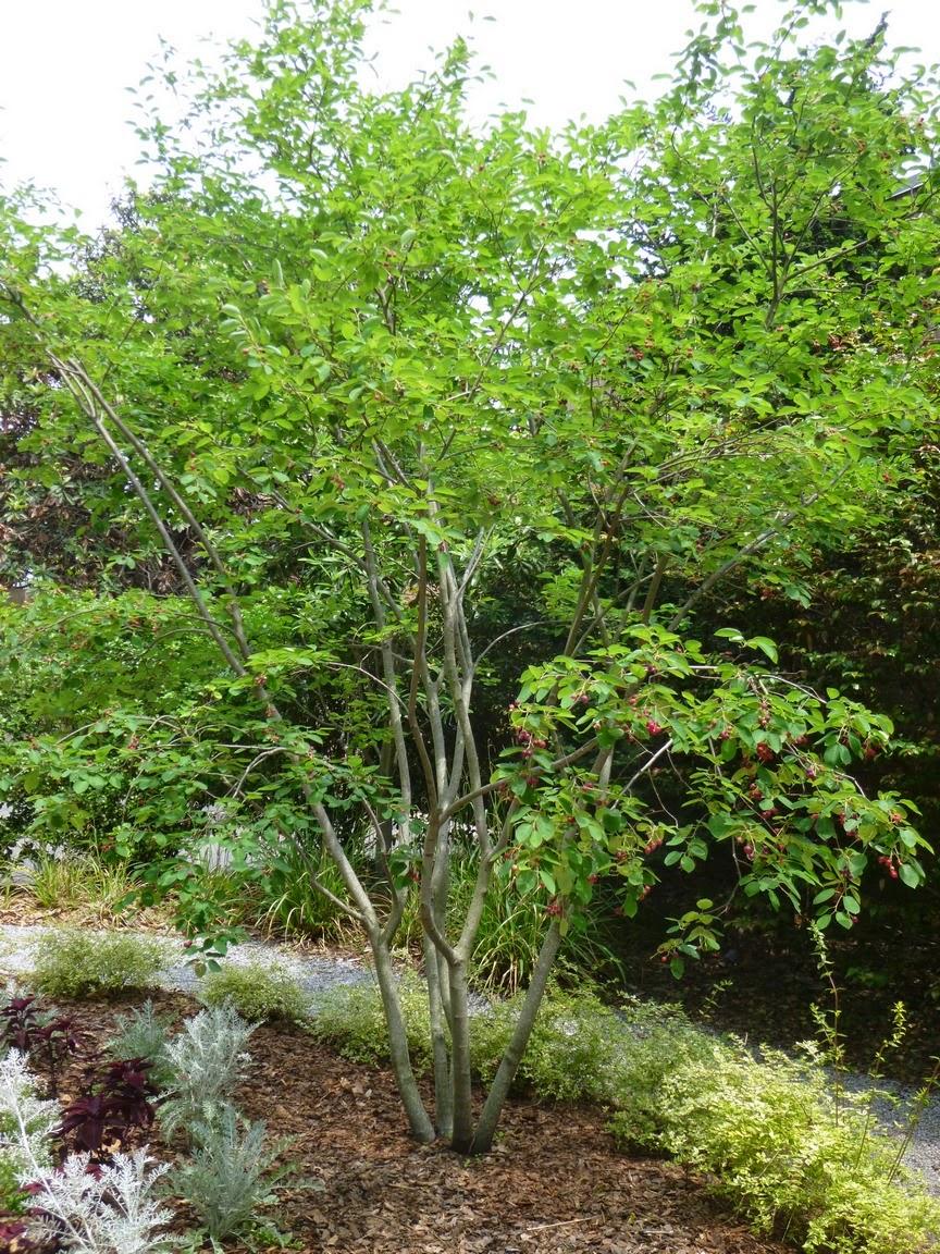 """Amelanchier X Grandiflora""""Autumn Brilliance"""""""