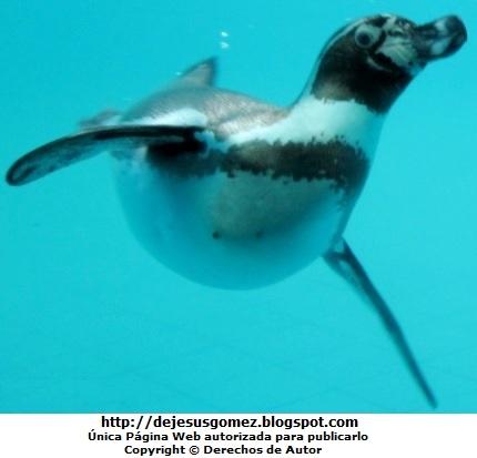 Foto de un pingüino nadando dentro del agua en el Parque de las Leyendas por Jesus Gómez