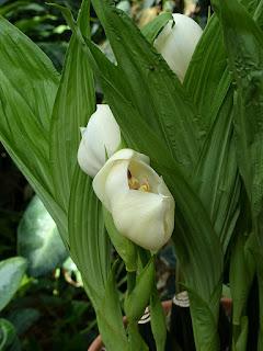 Anguloa uniflora - Orchidée tulipe