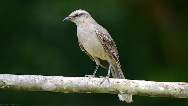 Chalk-browed Mockingbird Mimus saturninus modulator Sabiá-do-Campo Calandria Grande