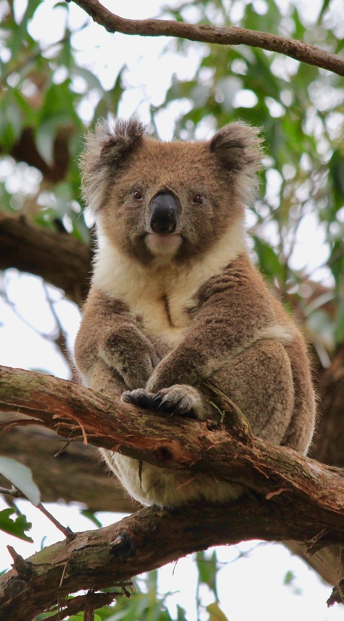 Photo of a koala bear.