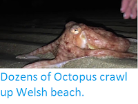 https://sciencythoughts.blogspot.com/2017/10/dozens-of-octopus-crawl-up-welsh-beach.html