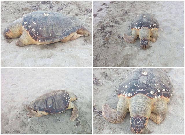 Ηγουμενίτσα: Νεκρή καρέτα καρέτα στην παραλία του Δρεπάνου (+ΦΩΤΟ)