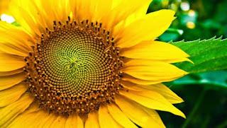 Khasiat dan Manfaat Bunga Matahari untuk Kesehatan