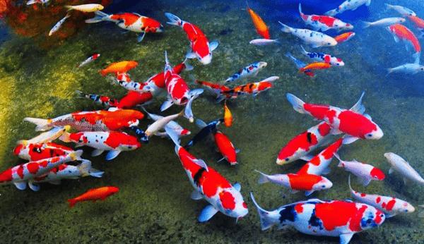 Ikan Koi 12 Jenis Ikan Koi Indah Beserta Harga Dan Cara Merawatnya Hewan Air Info