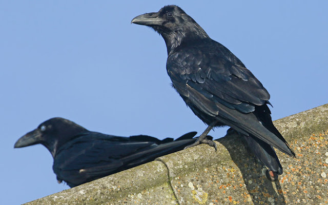 Are Those Gravitational Waves? Nope, They're Just Thirsty Ravens