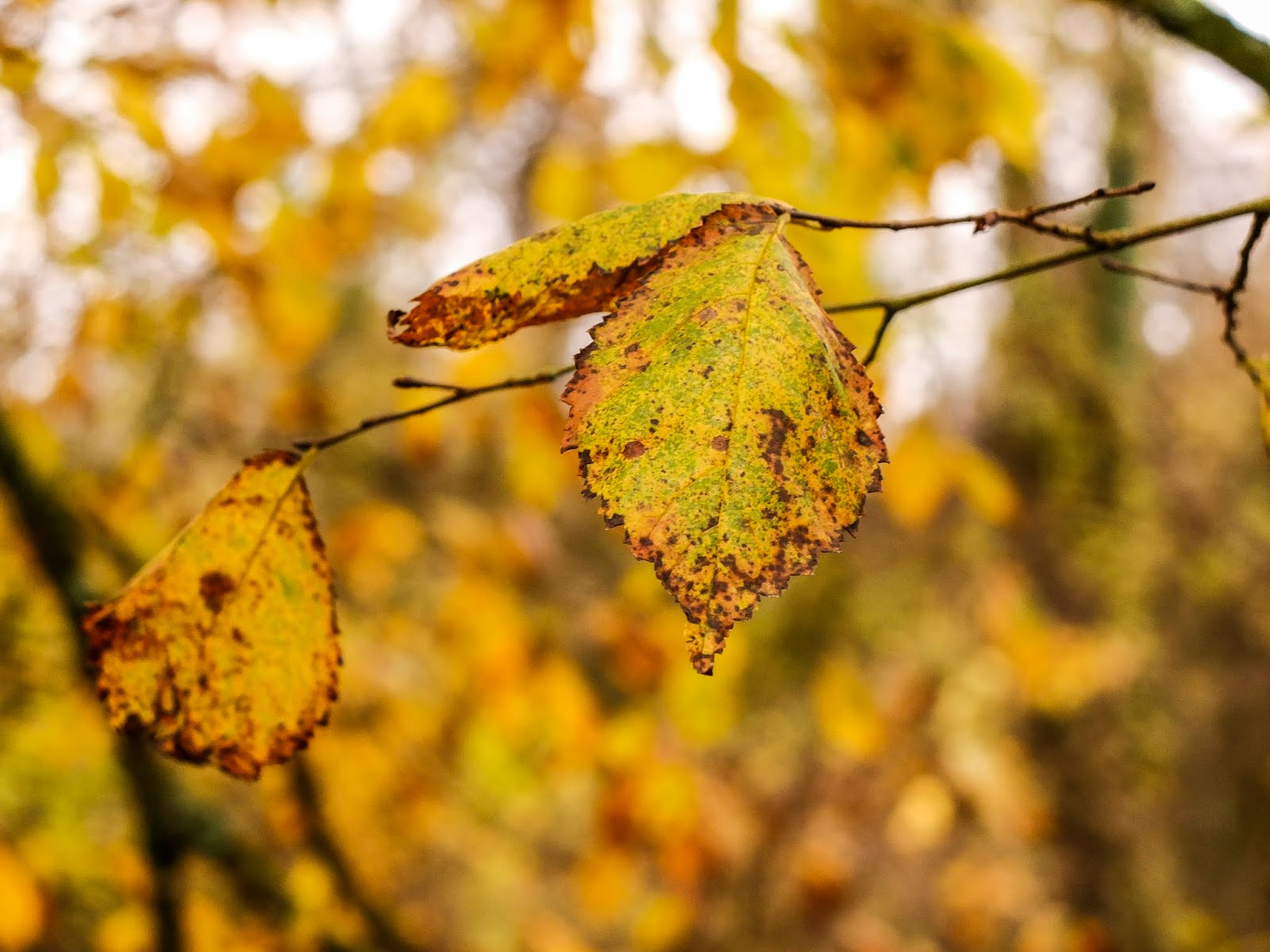 Yellowing and browning Autumn leaves on a tree branch.