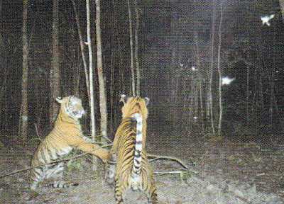 Harimau Sumatera di Taman Nasional Way Kambas