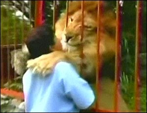 Animal rescuer gets lion share of affection (+Video)