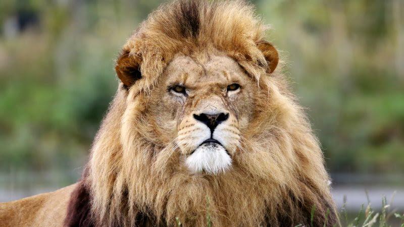 Lion King in Wild Africa