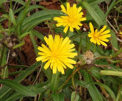 Parracas (Picris hieracioides)