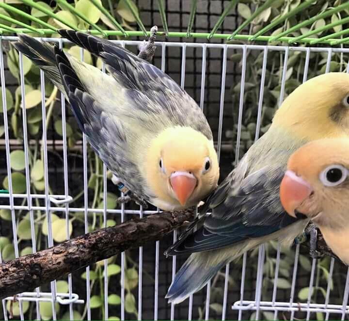 Unduh 50+ Foto Gambar Burung Lovebird Mouve  Paling Unik Gratis