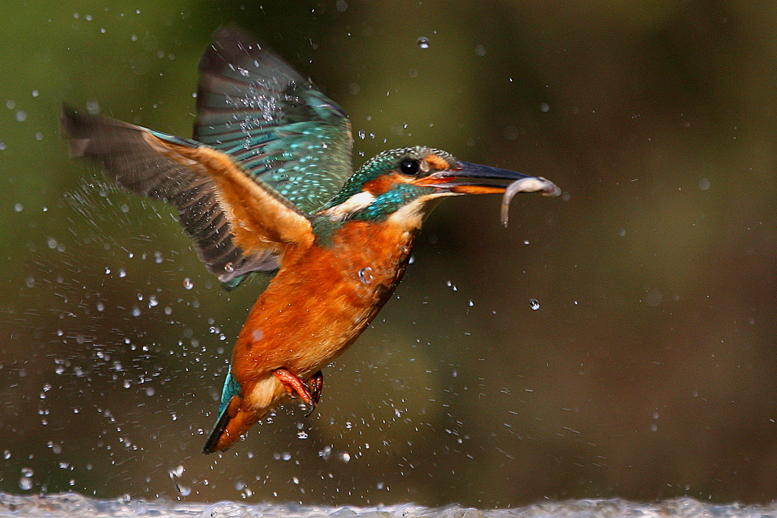 KINGFISHER_WITH_CATCH%255B1%255D.jpg