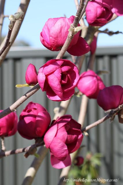 gardening-magnolias-black-tulip-athomewithjemma.com