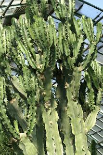 Euphorbia candelabrum var. erythraeae