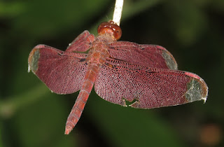 Neurothemis fulvia, Fulvous Forest Skimmer
