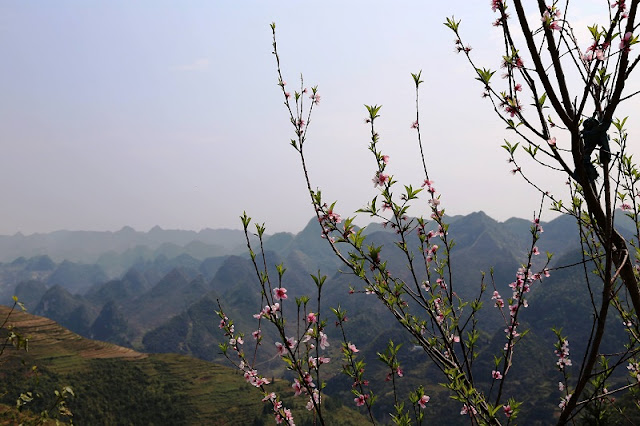 See beautiful late blooming peach blossom on Dong Van stone plateau
