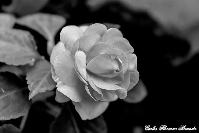 Flor  en Blanco y Negro,pimpollo blanco.