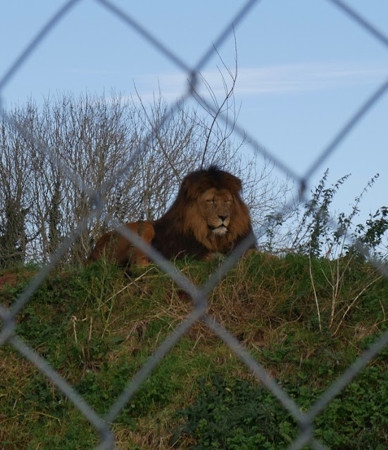 South Lakes Safari Zoo lion