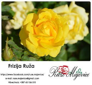 Plamen Sunca u Vašem vrtu. ~ Frizija Ruža ~
