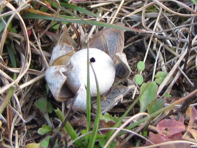 earthstar fungus