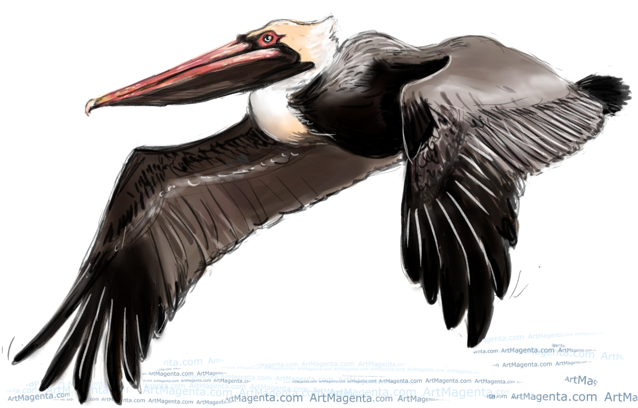 Brown Pelican sketch painting. Bird art drawing by illustrator Artmagenta