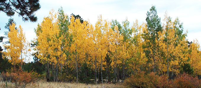 Populus tremuloides trees