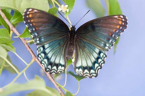 Avenger Blog Purple Butterfly