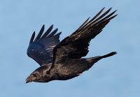 Havada uçan bir kuzgun kuşu veya kargası