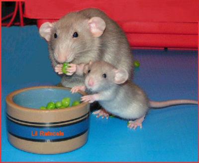 ultimate rat care blog