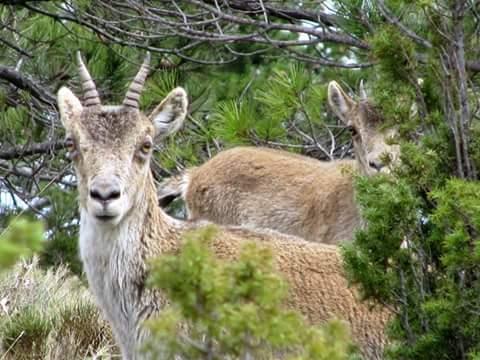 Variado fotos beceite beseit toll rabosa cabras estrechos pesquera 6