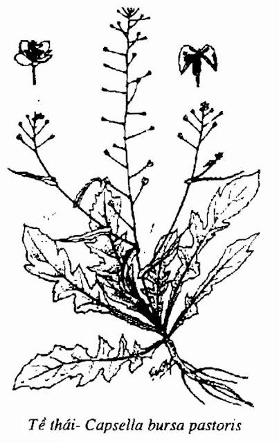 Hình vẽ cây Tề Thái- Capsella bursa pastoris - Nguyên liệu làm thuốc Chữa Cảm Sốt